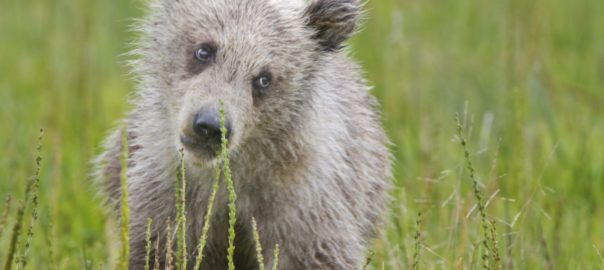 A bear cub in long grass