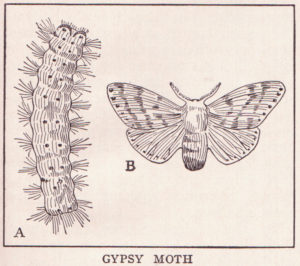 Illustration of gypsy moth caterpillar and adult