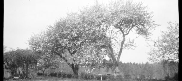 Black and white photo. Two large blooming trees
