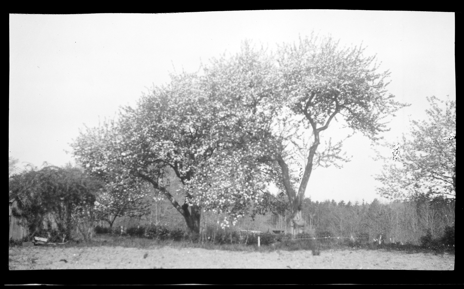 Orchard behind C. Drew's house, c. 1925
