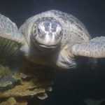 June 25th at 7pm - Rescue and Rehabilitation of Sea Turtles