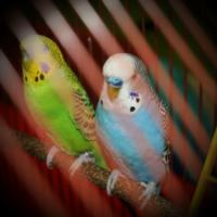 Two parakeets Blue and Jewel